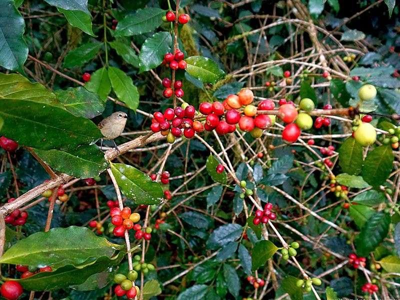 Café Galapagos - Hacienda El Cafetal - 100% bourbon