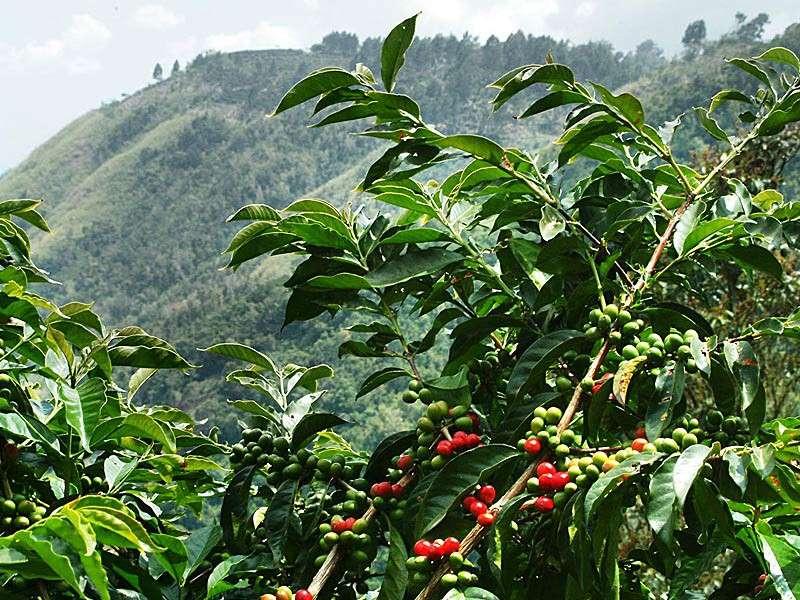 Café Blue Mountain, Jamaïque, Saint Cloud Estate