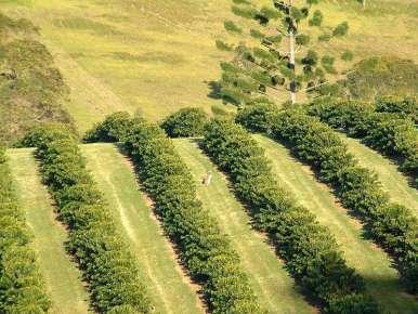 Café Hawai Ile Maui- Kaanapali Estate - 100% Yellow Caturra