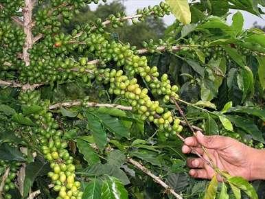 Sumatra Coffee, Mandheling Premium, Lake Toba, Micro-lot 221