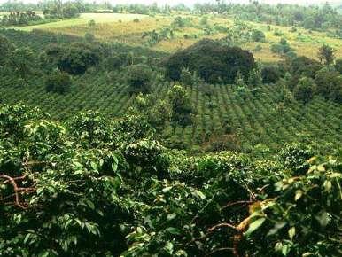 Kenyan Coffee, Kamuyu, Neyri District, Micro-lot A3